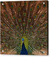 The Peacock 2 Acrylic Print