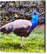 The Peacock Acrylic Print by Pixel  Chimp