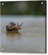 The Peeping Snail  Acrylic Print