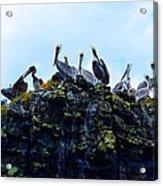 The Pelican Dance Acrylic Print