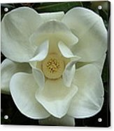 The Perfect Magnolia Bloom Acrylic Print