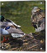 The Perfect Mallard Couple Acrylic Print