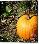The Perfect Pumpkin In The Patch Acrylic Print