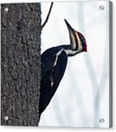 The Pilleated Woodpecker Acrylic Print by Rhonda Humphreys