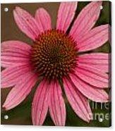 The Pink Daisy Acrylic Print