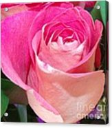 The  Pink Rose Acrylic Print