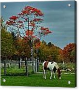 The Pinto Acrylic Print by Julie Dant