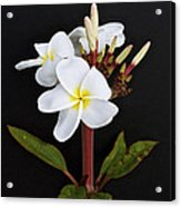 The Plumeria Acrylic Print