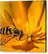 The Pollen Hunter Acrylic Print