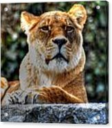 The Pondering Lioness Acrylic Print