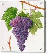 The Poonah Grape Acrylic Print