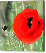 The Poppy And The Bee Acrylic Print