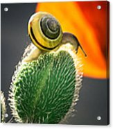 The Poppy And The Snail Acrylic Print