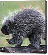 The Porcupine Walk Acrylic Print