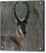 The Pronghorn 2 Dry Brushed Acrylic Print