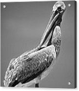 The Proper Pelican Acrylic Print