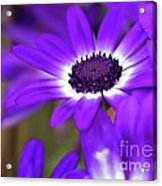 The Purple Daisy Acrylic Print