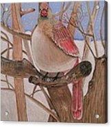 The Real Angry Bird Acrylic Print