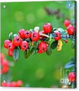 The Red Berries Acrylic Print by Aqil Jannaty