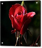 The Red Rode Bud Acrylic Print by Robert Bales