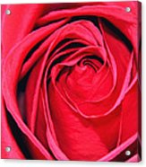 The Red Rose Blooming Acrylic Print