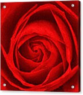 The Red Rose Acrylic Print
