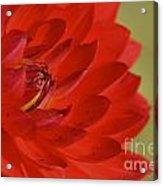 The Red Sun Dahlia Acrylic Print