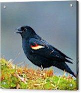 The Red-winged Blackbird (agelaius Acrylic Print