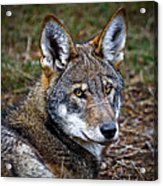 The Red Wolf Acrylic Print