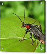 The Rednecked Bug- Close Up Acrylic Print