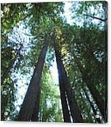 The Redwood Giants Acrylic Print