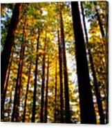 The Redwoods Of Florence Keller Park Acrylic Print