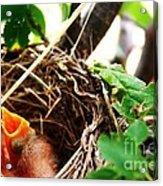 The Robins Nest Acrylic Print