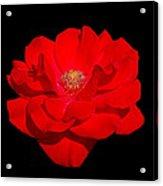 The Rose Acrylic Print