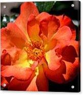 The Rose Of Joy Acrylic Print