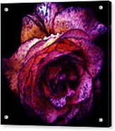 The Royal Rose Acrylic Print by Stephanie Hollingsworth