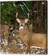 The Rutting Whitetail Buck Acrylic Print