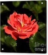 The Secret Rose Acrylic Print