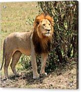 King Of The Savannah Acrylic Print