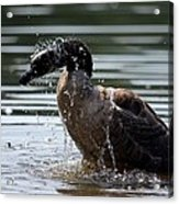 The Shake Off - Canadian Goose Acrylic Print