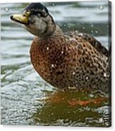 The Shaking Duck Acrylic Print by Thomas Fouch