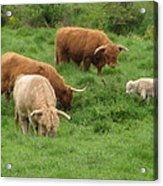 The Sheep's In The Meadow Acrylic Print