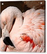 The Shy Flamingo Acrylic Print