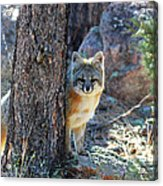 The Shy Fox Acrylic Print