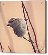 The Sideways Sparrow Acrylic Print