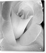 The Silver Rose In Portrait Acrylic Print