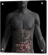The Small Intestines Acrylic Print