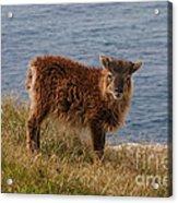 The Soay Sheep  Acrylic Print