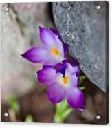 The Softness Of Crocus - Flowers - Spring Acrylic Print