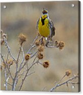 The Song Of The Lark Acrylic Print